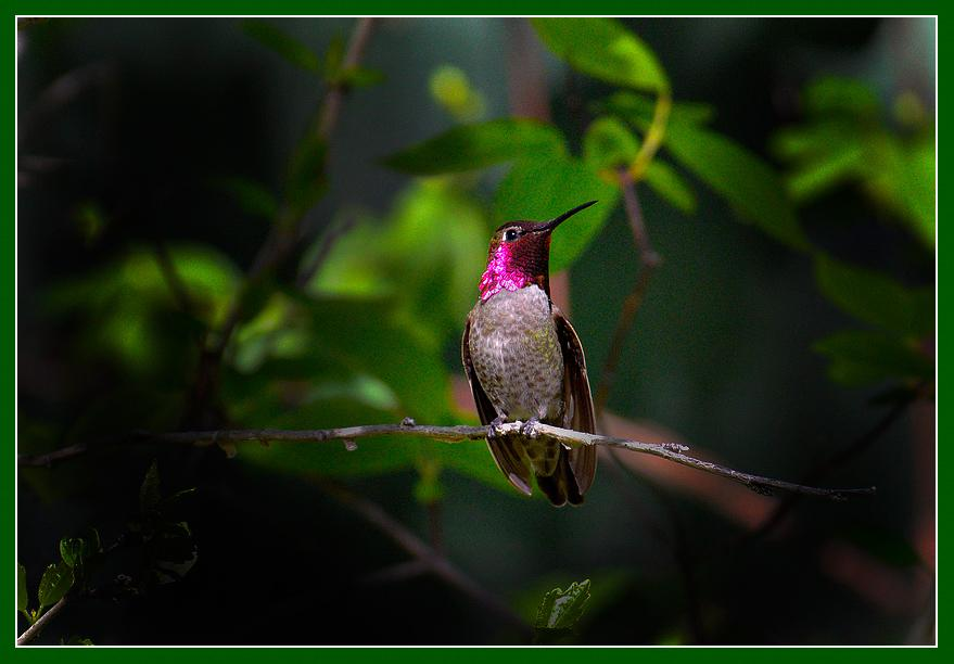 Male hummer displaying brilliant color to a potential mate.Mariposa, California. April 2013.