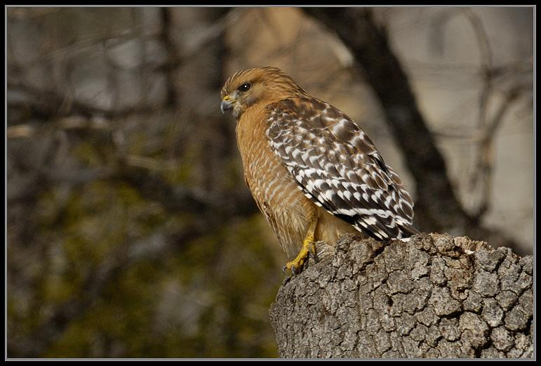 Red-Shouldered Hawk<br />Yosemite Nat'l. Park<br />January 2008
