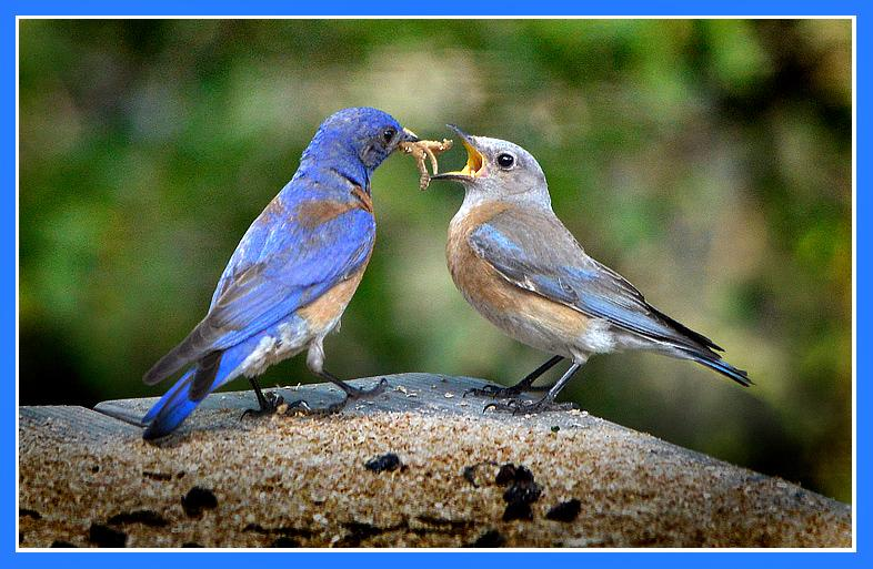 "Mariposa, California USA Breakfast Is Served!This beautiful pair of Western Bluebirds has begun a second nest (the first fledged 4 nestlings out of five) in a nest box on the edge of a quiet meadow in Mariposa, California USA.Here the attentive male is feeding a breakfast of live meal worms to his lovely bride before they commence with the day's ""construction.""We shall hope for a successful brood and fledging. If it comes to pass the world will be a little richer for it...To view a short video of this lovely duo, copy this link and paste it into your browser's address line. or click the Link:<a href=""http://www.youtube.com/watch?v=jo46zqzYI2M&feature=plcp"" target=""_blank""> http://www.youtube.com/watch?v=jo46zqzYI2M&feature=plcp</a>Date: 05/26/2012"