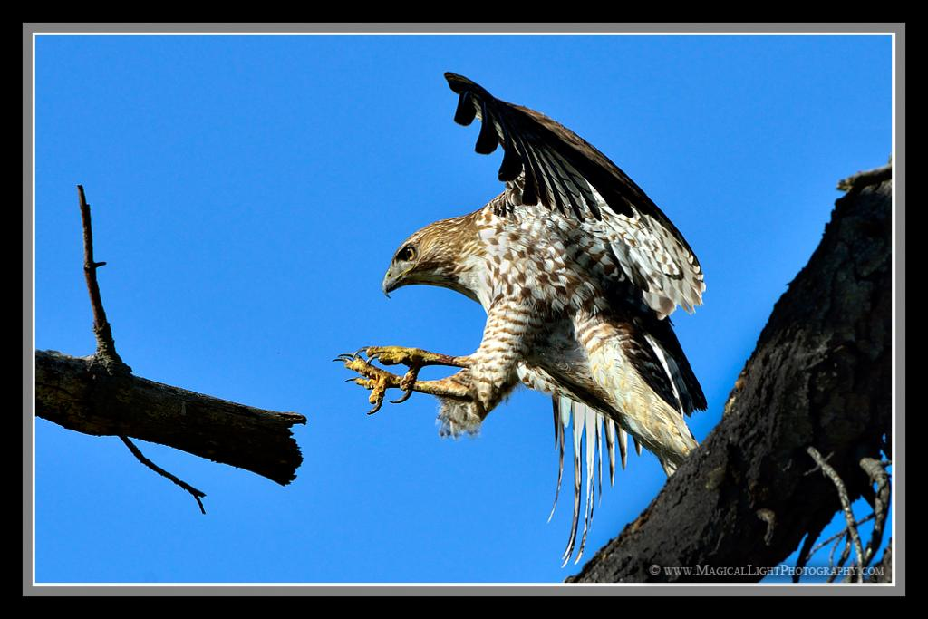 Like a jet aircraft screaming toward the runway, this juvenile Red-Tailed Hawk has razor-sharp talons (landing gear) extended and ready for touch down.Lake Los Carneros, CA (Santa Barbara county)<br />March 10, 2013