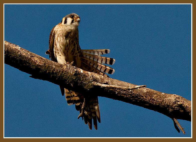 "American Kestrel<br />(Also Known as ""Sparrow Hawk"")<br />Goleta, CAAmerican Kestrel<br />This American Kestrel female (also known as a ""Sparrow Hawk"") poses for a portrait during her morning preen while perched on a dead snag at Lake Los Carneros."