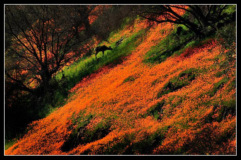 A profusion of poppies surrounds a browsing doe.Merced River Canyon. March 2009.