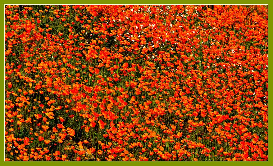 Fresh poppies proliferate in a profusion of pretty color!Merced River Canyon. March 2009.